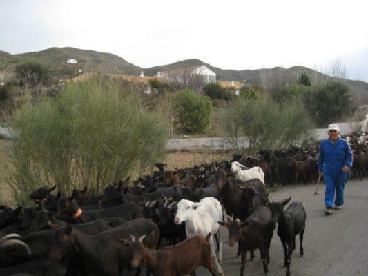 Rebaño de cabras en Lubrín