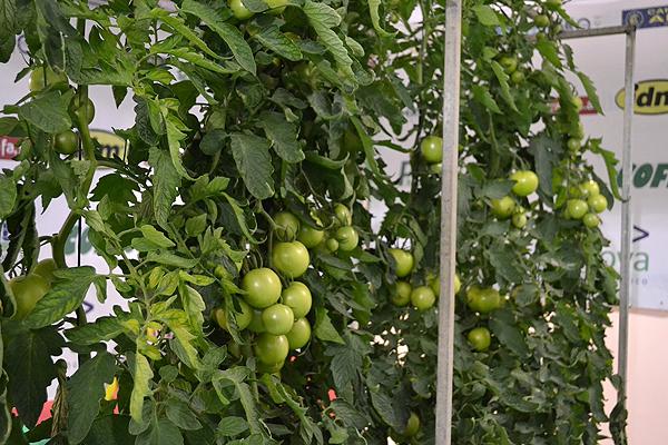 tomate-expoagro