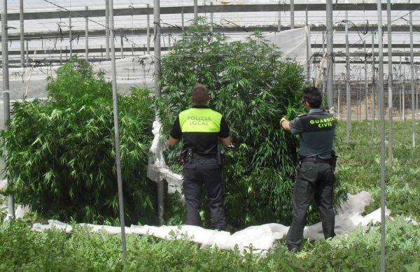Plantas de marihuana en el invernadero