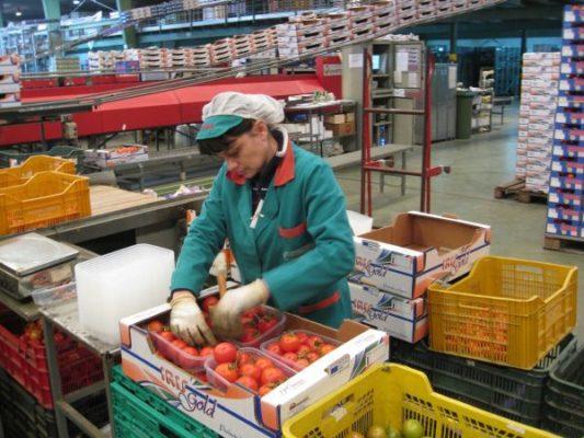 AGROIRIS. Mujer envasando tomate