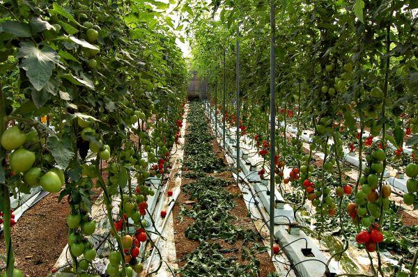 Invernadero de tomate de Almería
