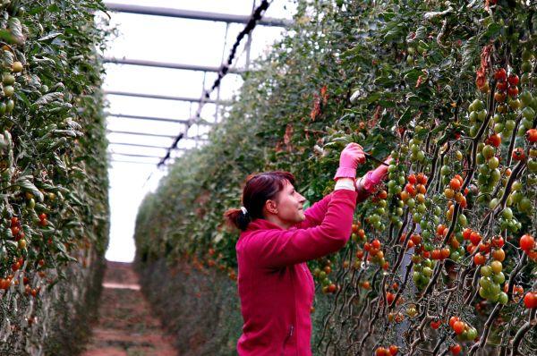 Agricultora invernadero