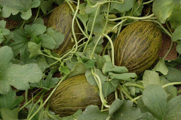 El precio de retirada del melón sube a 48 céntimos el kilo