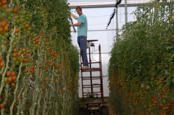 Agricultor en invernadero