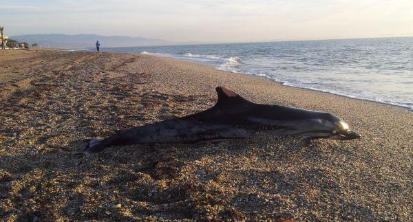 Muere una hembra de calder n com n en la playa de roquetas for Gimnasio 360 roquetas de mar