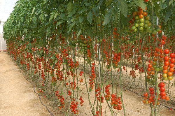 Tomates de Almería