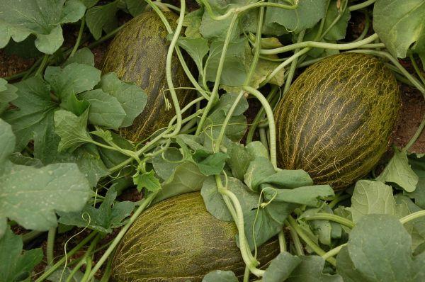Melones en un invernadero