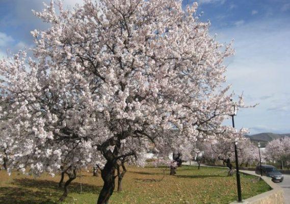 Preocupación en Los Vélez ante el anuncio de heladas en plena floración de los almendros