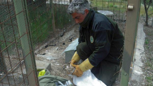 Jaula trampa azor agentes medio ambiente julio 2013