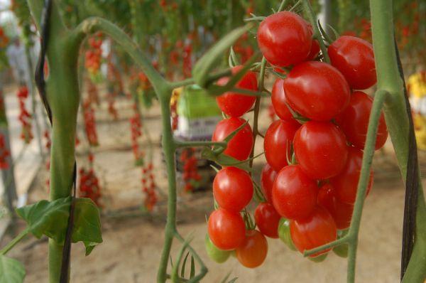 El productor que envió tomate con etefón a Holanda comercializó sin intermediarios