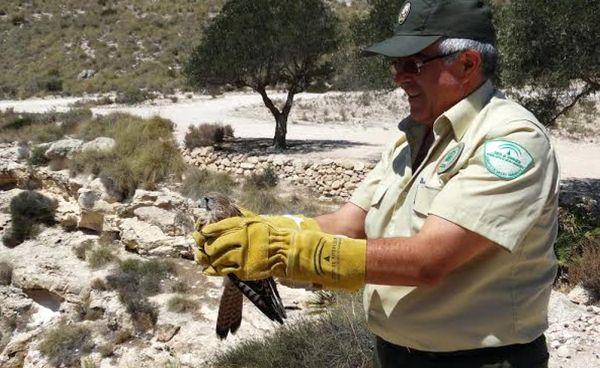 Agente forestal con un cernícalo