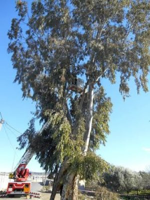 Bomberos del Levante sanean las ramas de un eucalipto en el paraje  El Rodon, en la carretera de Pueblo Blanco en Campohermoso, dañado por las rachas de viento