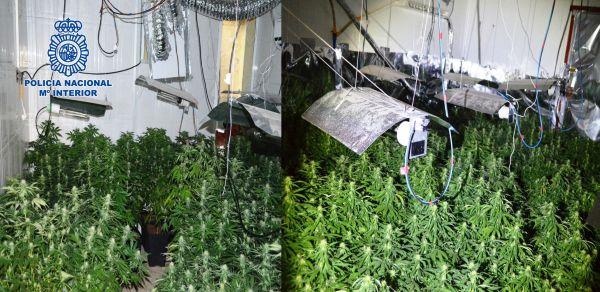 plantación encontrada en la vivienda