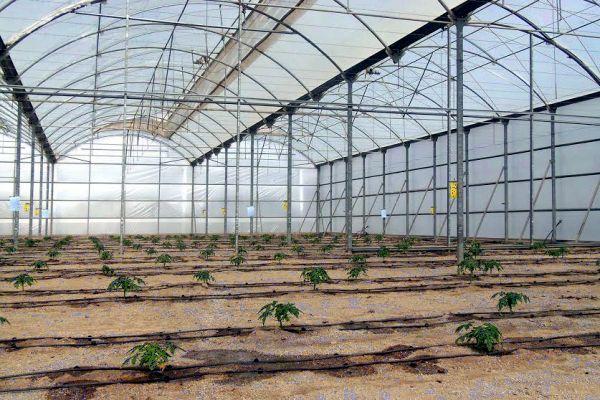 Invernadero papaya