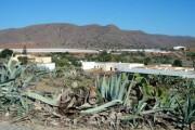 Las pitas corren la misma suerte que las chumberas en Almería