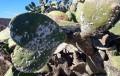 Los Ingenieros Agrícolas de Almería solicitan que se estudie la descatalogación de las chumberas como especie invasora