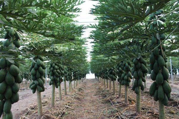 cultivo-de-papaya