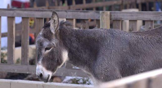 burro-belen-viviente