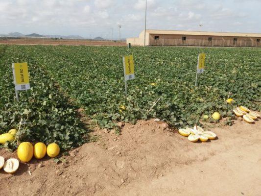 Azilal RZ - Gladial RZ - (melón amarillo)