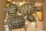 Recuperan dos tortugas mora en la puerta de una vivienda en Níjar