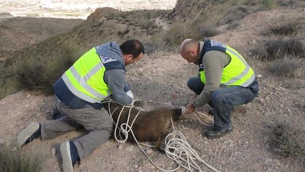 Dos agentes de Medio Ambiente liberan al animal en la sierra de Gádor
