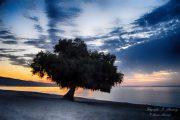 El Taray de Roquetas, símbolo y testigo que une en el dolor de su rama a un pueblo entero