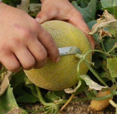 Se adelanta un mes la comercialización de melón y sandía de Almería