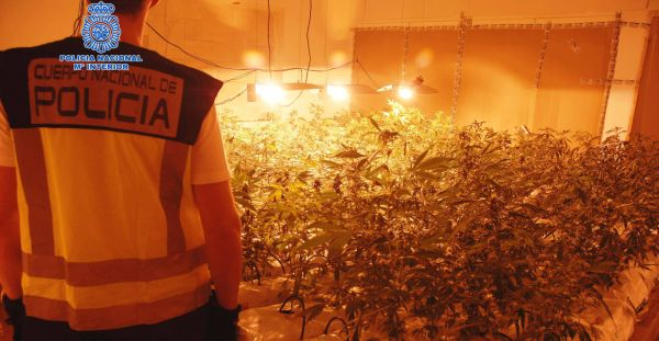 Cannabis sátiva
