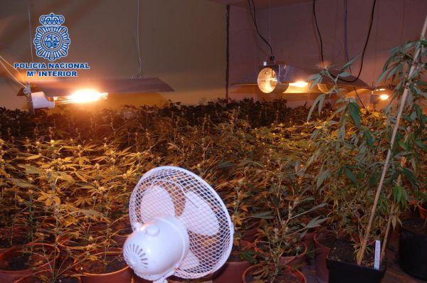 Desmantelada una plantacion de marihuana