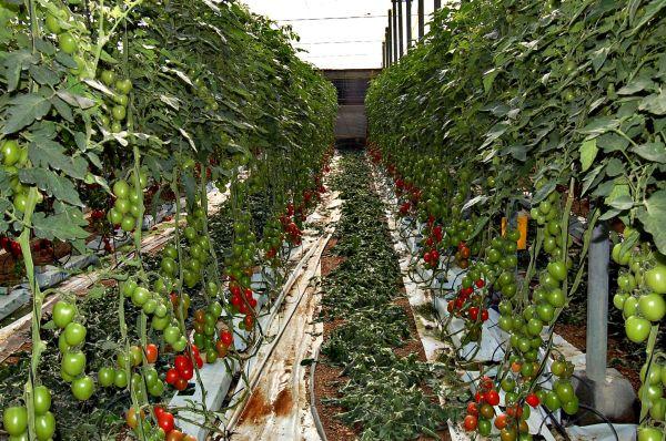 La Junta activa medidas sanitarias para aislar el virus rugoso del tomate en Almería