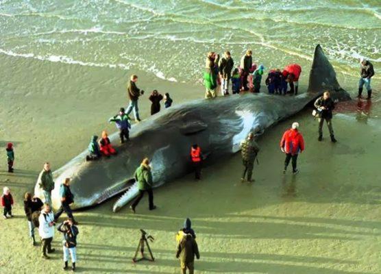 hallan-muerta-a-una-ballena-con-20-kilos-de-plastico-en-el-estamago