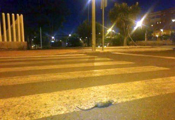 Rata muerta en un paso de peatones. Foto de UPyD