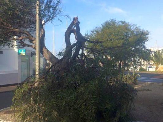 Árbol caído en Almerimar. Foto: Juan Antonio Borrego