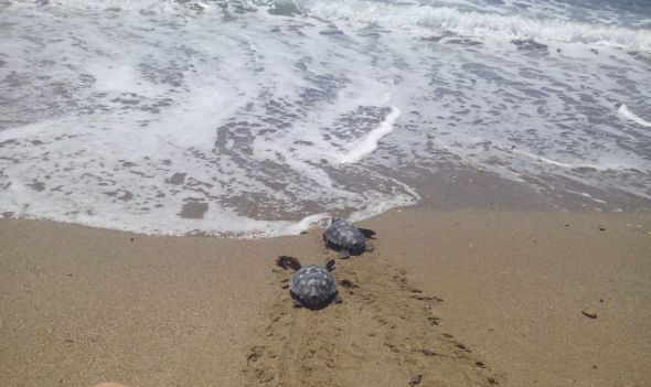 Las dos caras del nido de tortuga boba