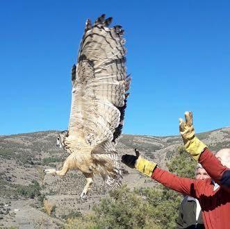 Momento de la liberación del búho real en un paraje de Los Filabres
