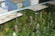 Detenidas dos personas con 379 plantas de marihuana en Almería