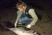 Aparece un delfín muerto con el nombre de Juan grabado en un costado en una playa de Roquetas