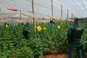 La Guardia Civil localiza 4.000 plantas de marihuana en cuatro invernaderos de El Ejido