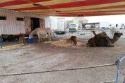 El circo Roma Dola y las consecuencias de la actividad circense con animales