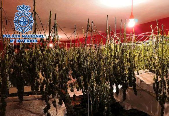 Tres detenidos en Almería con 346 plantas de marihuana y una pistola en su vivienda