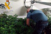 La Guardia Civil localiza 200 plantas de marihuana en un cortijo y detiene a una persona