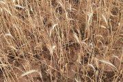 La ganadería y la agricultura afrontan ya graves pérdidas por la sequía