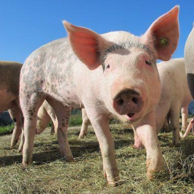 triquinosis. cerdo