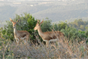 Técnicos del CSIC liberan en el Atlas a más de 30 gacelas llevadas a Túnez en 2016 y criadas en Almería