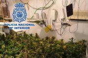 Desmantelada una plantación de marihuana y detenido el responsable en Almería