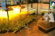 Hallada una vivienda con 650 esquejes de marihuana en Almería