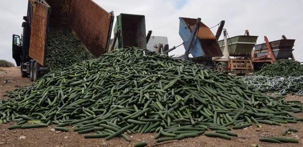 El sector hortícola de Almería y Granada retira del mercado el 30% de pepino