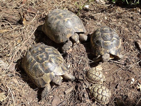 Tortugas moras (3)