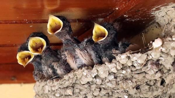 Destruyendo nidos de golondrina